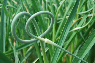 https://greencitymarket.wordpress.com/2012/06/15/what-do-i-do-withgarlic-scapes-by-amelia-levin-green-city-market-junior-board-member/