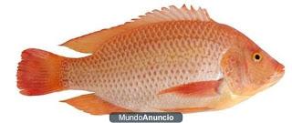 Mojarra roja for Mojarra tilapia criadero