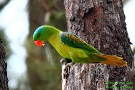 Burung Betet : Ciri-Ciri Dan Cara Membedakan Burung Betet Jantan Dan Burung Betet Betina