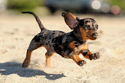 Leaping Into Your Friday With Some Ooey Gooey Dachshund Puppy Goodness: Meet .