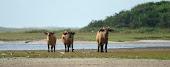 Bufalos enanos