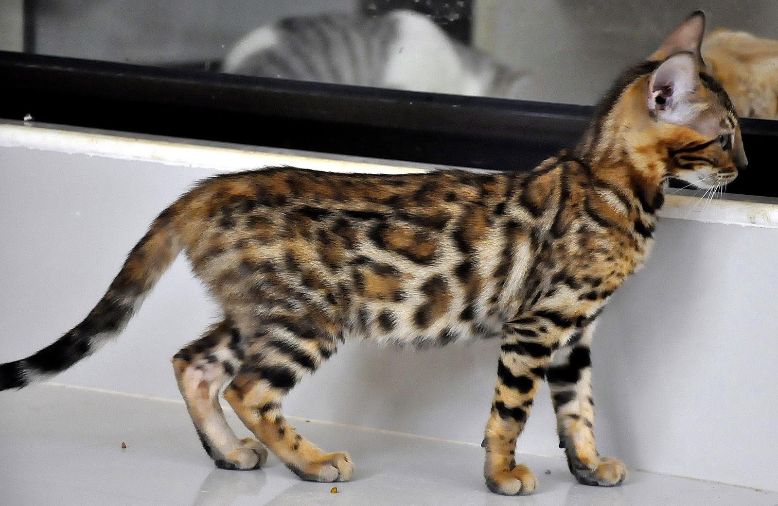 Kucing Bengal Memelihara Macan Kecil Di Rumah Maju Jaya