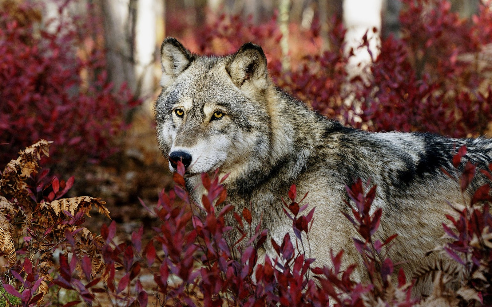 wolf wallpapers ndash animal - photo #26