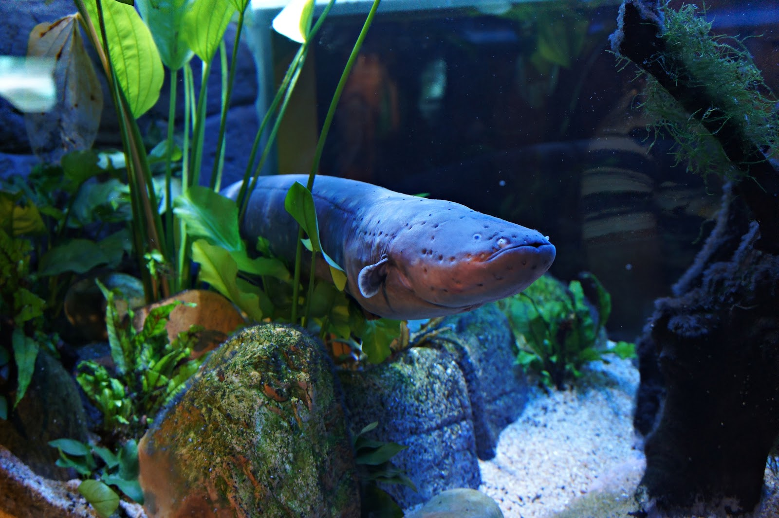 """electric eel The term """"eel"""" is also used for some other eel-shaped fish, such as electric eels (genus electrophorus), spiny eels (family mastacembelidae), and deep-sea spiny eels (family notacanthidae) these other clades, however, evolved their eellike shapes independently from the true eels."""