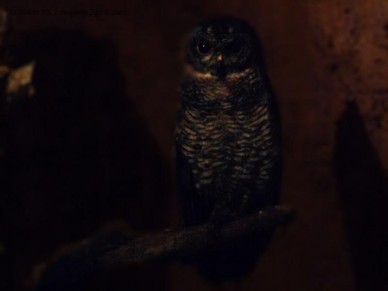Owl, Mottled Wood Owl, Strix ocelleta, owl face, owl eyes, owl call