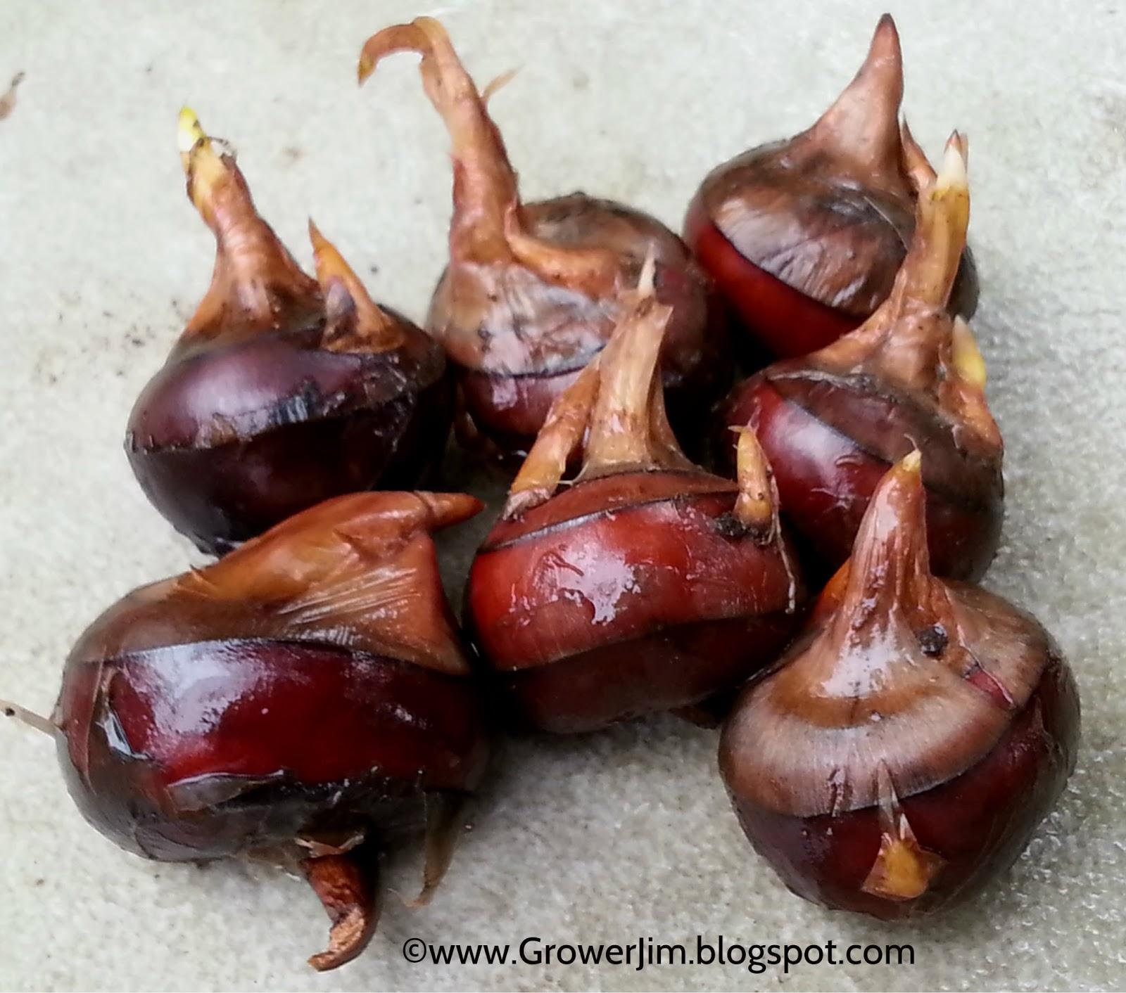 Garden adventures water chestnut eleocharis dulcis for The chestnut