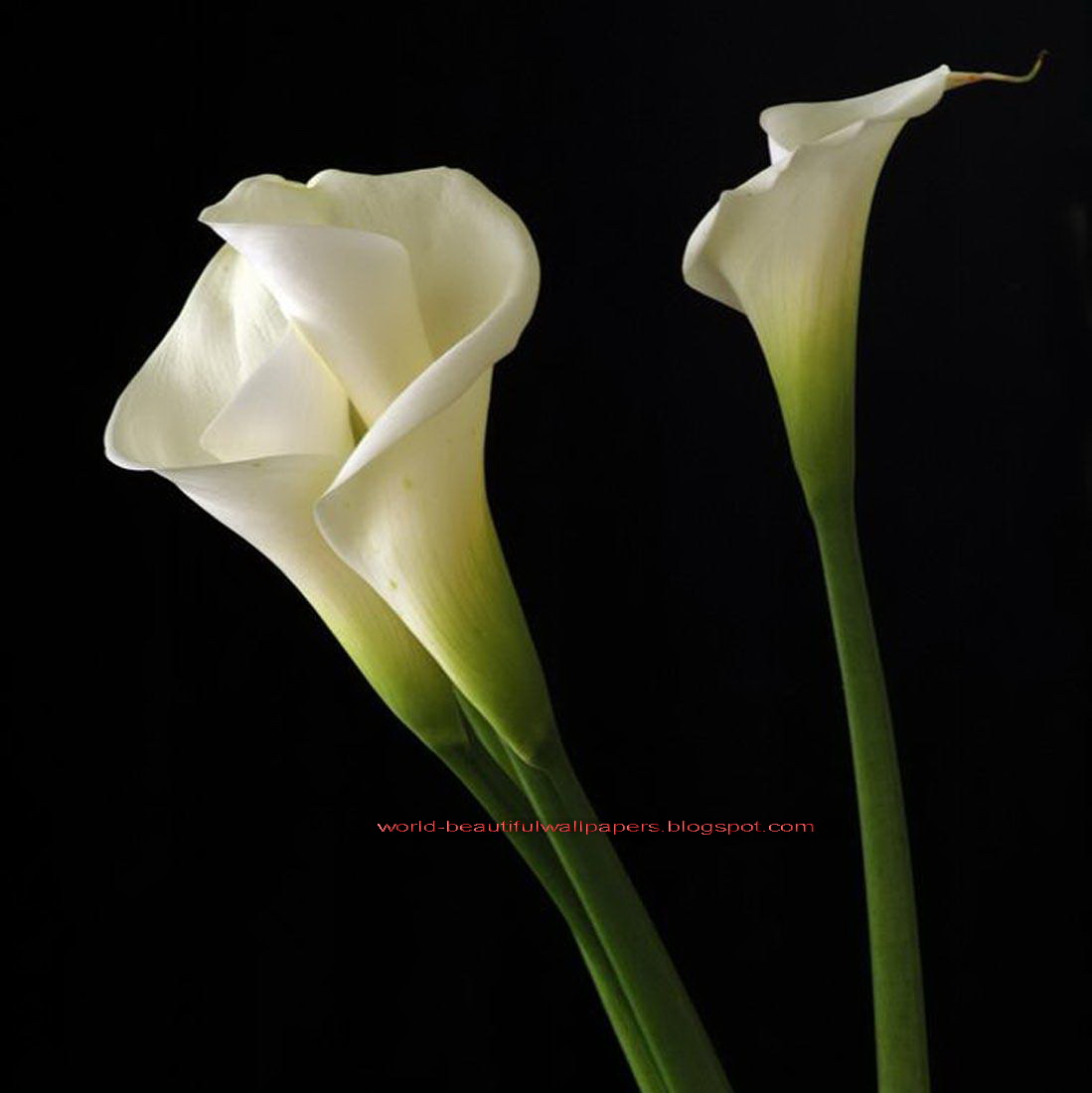 Beautiful Wallpapers calla lily flowers wallpaper