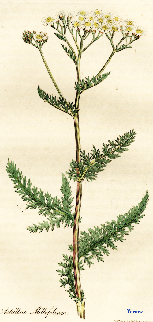 the pinecone apothecary yarrow blood cleanser flu