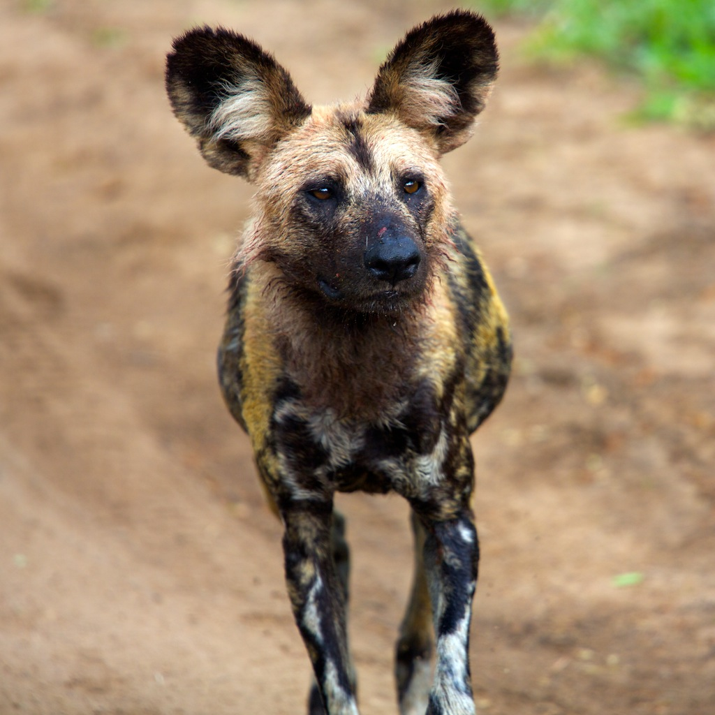 Pictures Of African Dogs