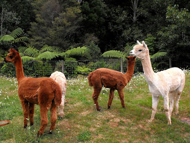alpacas in a field in New Zealand