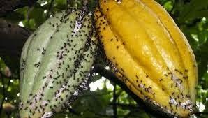 Budidaya Semut Rangrang untuk Pengendali Hama Alami pada Tanaman Kakao