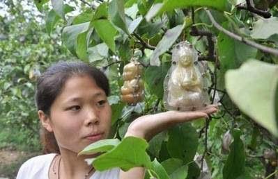 Buah Pir Unik dengan Bentuk Patung Budha