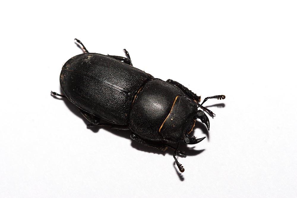 Lesser Stag Beetle - Milton Keynes