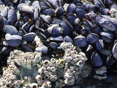 Common mussel (Mytilus edulis)