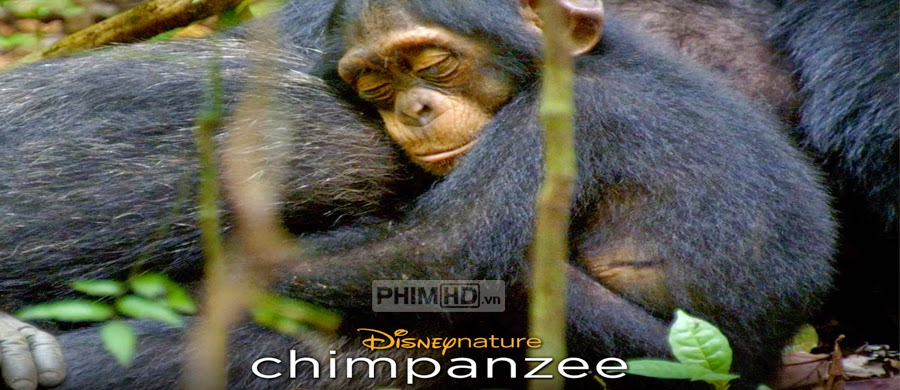 Phim Tinh Tinh Chimpanzee VietSub HD | Chimpanzee 2012