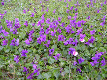 1° giorno di Primavera - viole