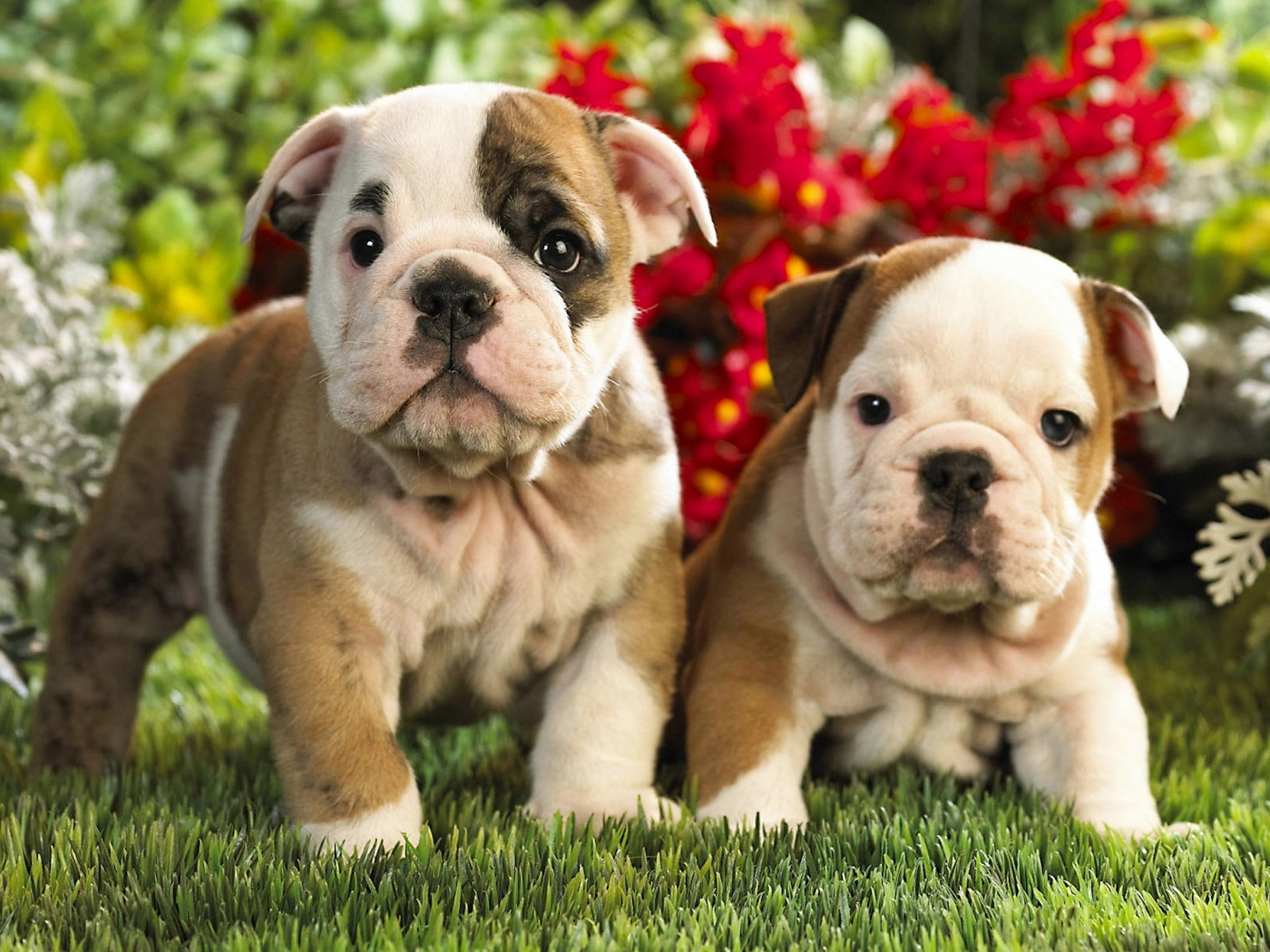 French bulldog puppies - photo#17