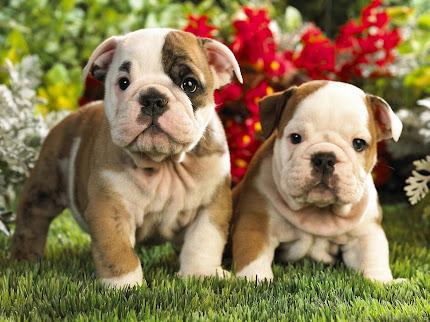 Gambar Anak Anjing yang Lucu-Lucu dan Imut