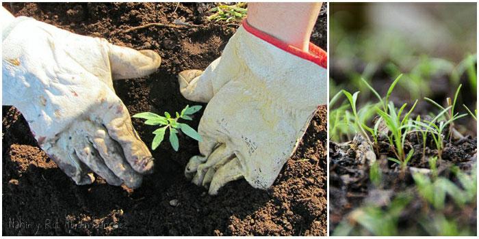 plantando tomates y plantas de zanahoria germinando