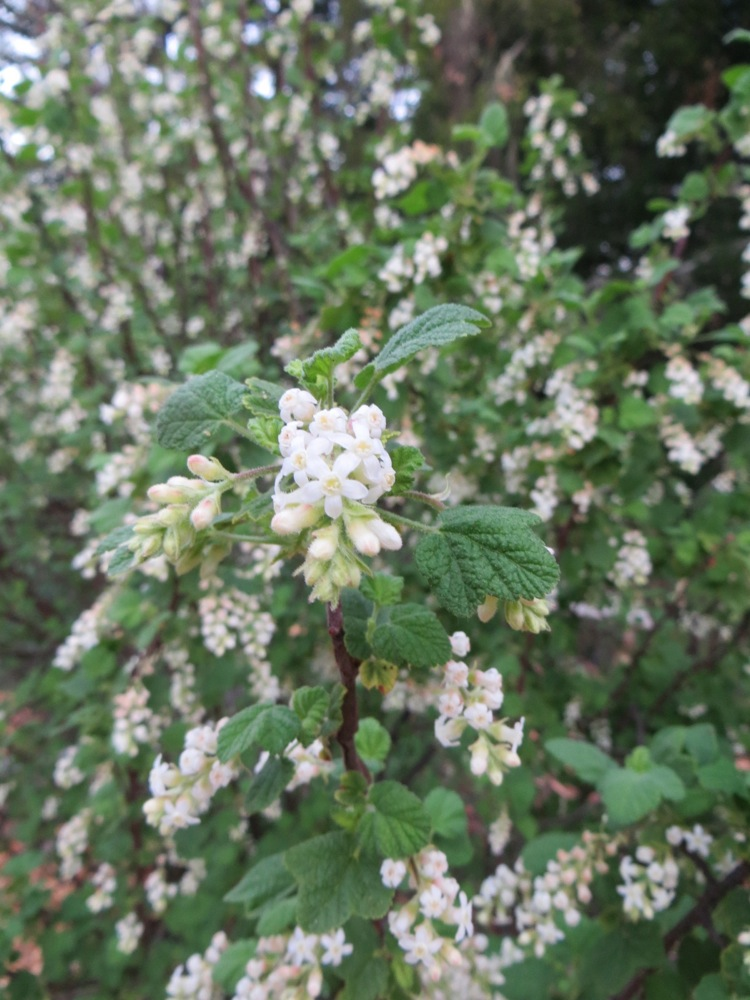 February blooms on the country mouse ridge ribes indecorum white flowering currant or white chaparral currant is one of the most happy ribes on my property its a southern cal native purchased at mightylinksfo