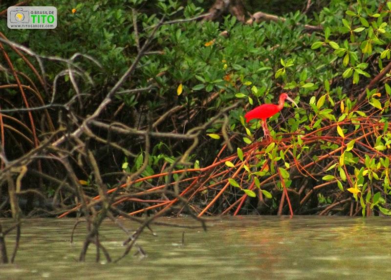 Guarás (Eudocimus ruber) no manguezal na ilha de Maiandeua (Algodoal), no Pará