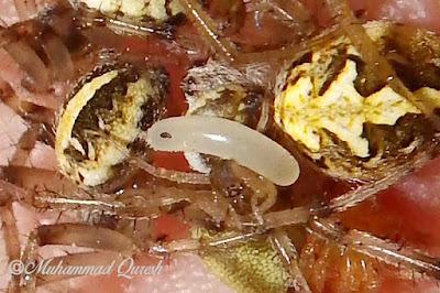 Mud Dauber Wasp Egg
