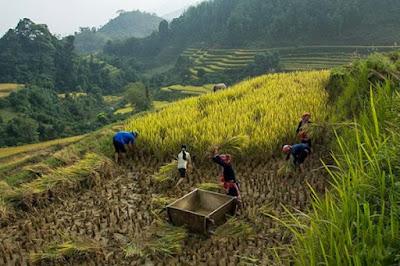 Vàng ươm mùa lúa chín ở Hoàng Su Phì.