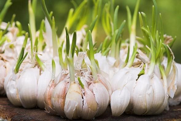 3 Manfaat Ajaib Bawang Putih Untuk Kesehatan