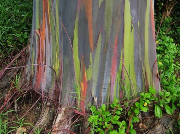شجرة ذو الوان طبيعية مبهرة rainbow-eucalyptus-4