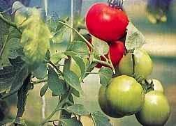 12 Manfaat dan Khasiat Tomat Untuk Kesehatan
