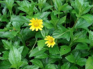 bunga widelia