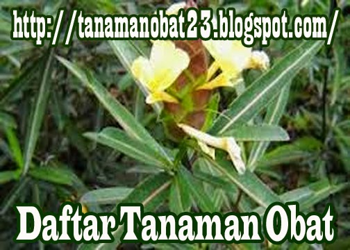 Tanaman Obat Landik (Barleria lupulina Lindl.)