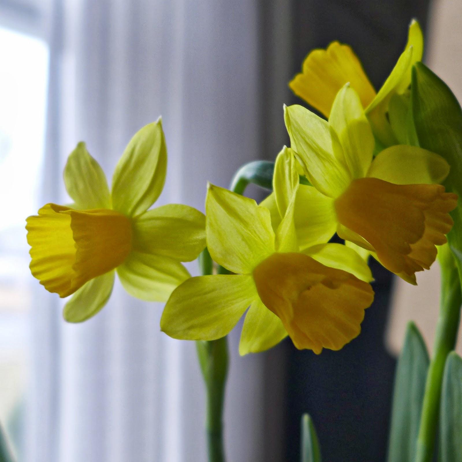 Daffodils Sending Hugs and Prayers