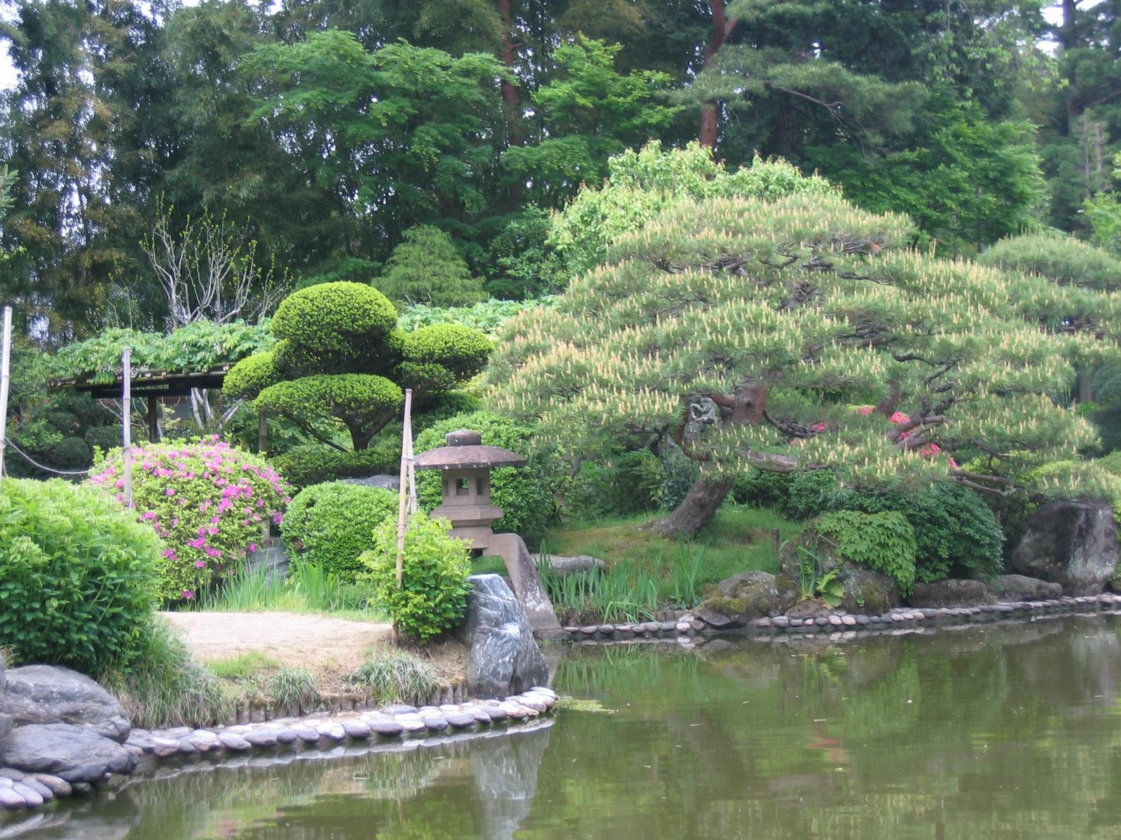 Matsu bonsai niwaki for Pin jardin japonais