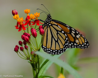 monarch butterfly resting on red and yellow butterfly milkweed plant