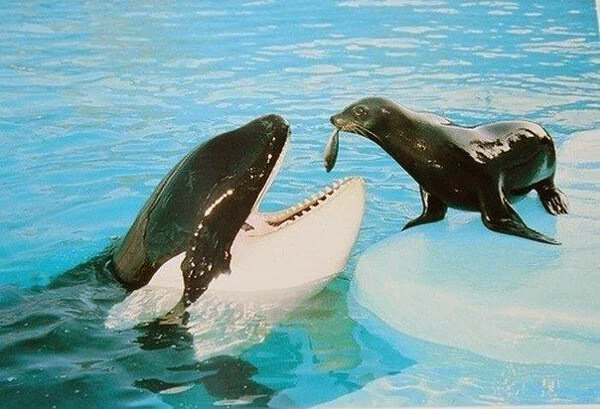 Funny animals of the week - 6 December 2013 (35 pics), seal feeds orca shark with fish