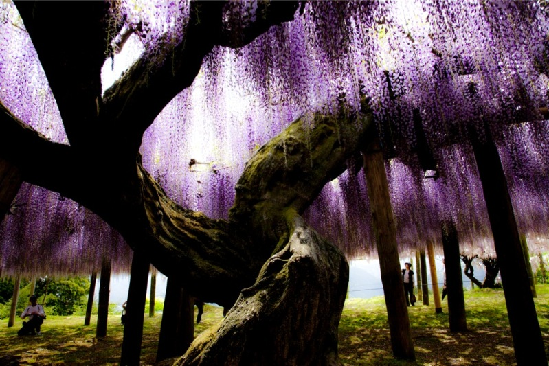 El rincon de mis aficiones jardin japones fuji kawachi for Jardines kawachi fuji