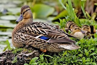 Gambar Hewan Aves dan Penjelasannya