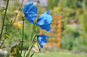 Himilayan Blue Poppy