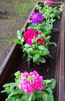 Kwiaty na balkonie - werbena
