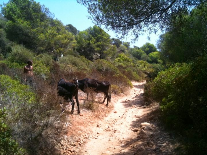 vacas camino cala varques