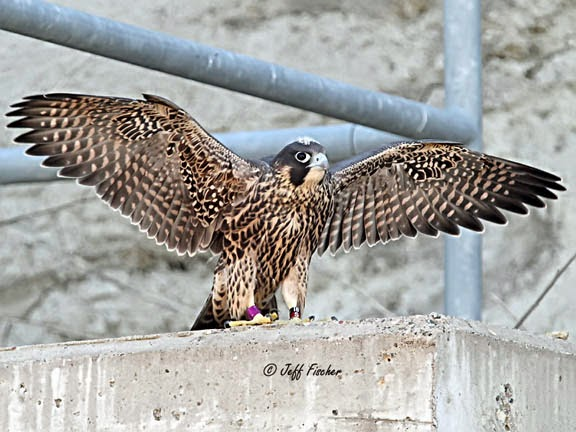 Young Peregrine Falcon Fledging