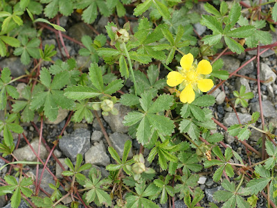 Cinquefoil (Potentilla Reptans) Overview, Health Benefits, Side effects
