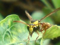 tawon lebah kuning