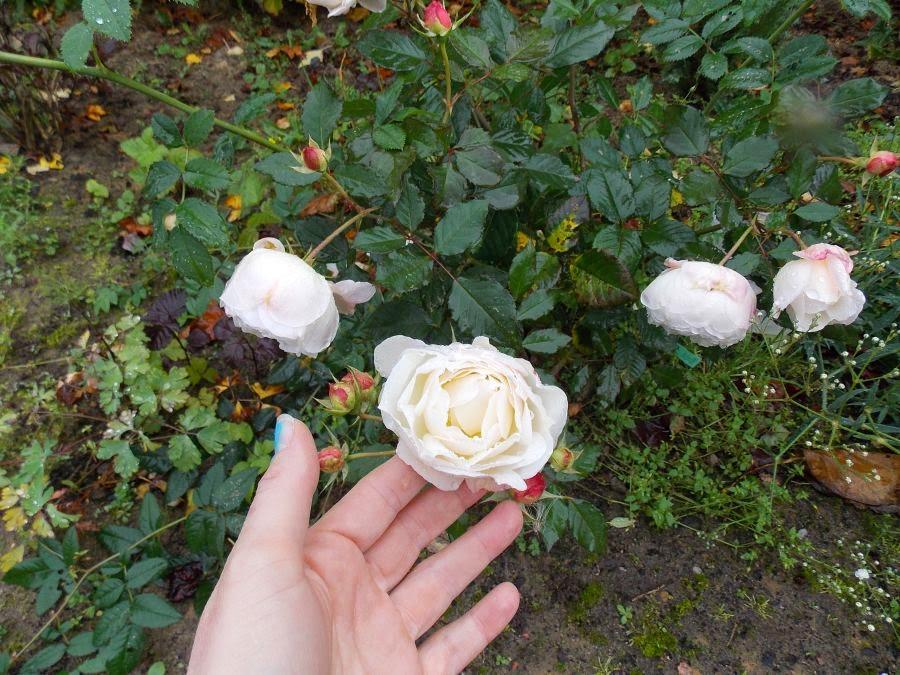 Gruss and Achen róża