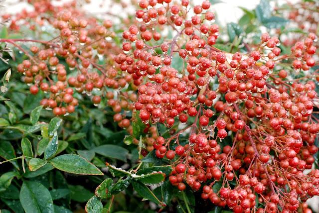 Il mondo in un giardino sempreverdi per siepi - Arbusti sempreverdi da giardino ...