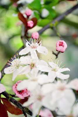cherry blossoms, flowering tree, gardening, seattle, nature, photography, spring