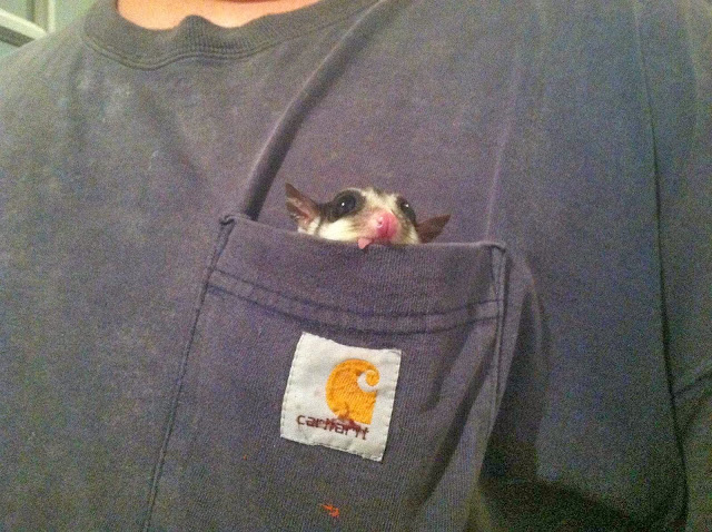 Funny animals of the week - 13 December 2013 (40 pics), sugar glider in a shirt pokcet