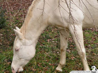 kuda albino