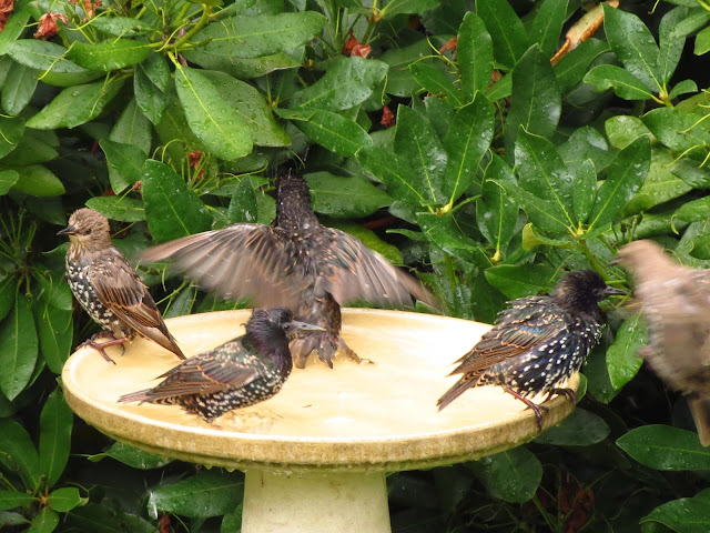 starlings in bath fly in and out